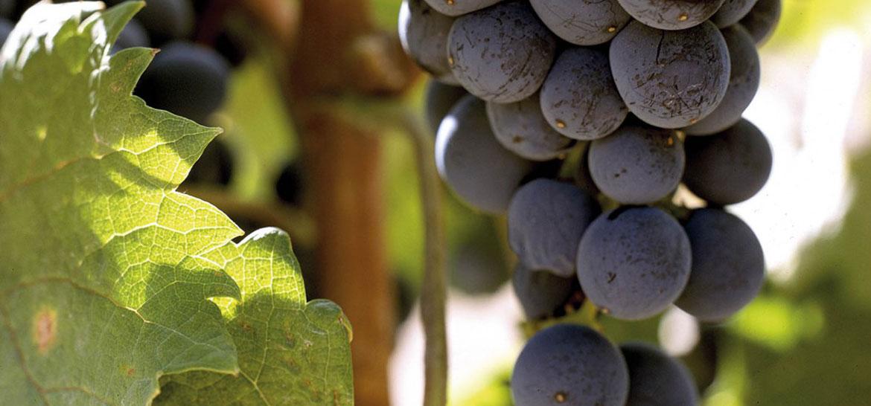 El vino en Bullas